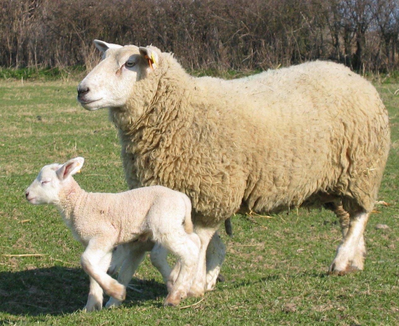 Brebie agneau r